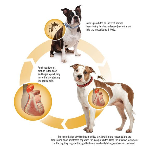 Heartworm Prevention Guidelines For Dogs
