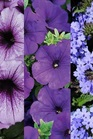 /Images/johnsonnursery/Products/Annuals/2015__5_Purple_Haze_basket.jpg