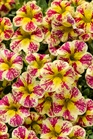 /Images/johnsonnursery/Products/Annuals/CBHSHM1AN_-_PW.jpg