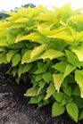 /Images/johnsonnursery/Products/Annuals/CLS_Lime_Time_-_JCRA_-_PW_6-23-14_104.JPG