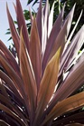 /Images/johnsonnursery/Products/Annuals/Cordyline_Red_Star_-_PW_for_web.jpg