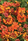 /Images/johnsonnursery/Products/Annuals/LAN_Luscious_Marmalade_-_PW.jpg