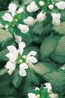 /Images/johnsonnursery/Products/Perennials/Lamium_White_Nancy_PW.jpg