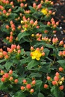 /Images/johnsonnursery/Products/Woodies/Hypericum_Pumpkin_-_1st_Editions.jpg