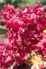 /Images/johnsonnursery/Products/Woodies/Lagerstroemia_Siren_Red_3090413_for_web.jpg
