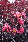/Images/johnsonnursery/Products/Woodies/Lagerstromia_Midnight_Magic_for_web_082713.jpg