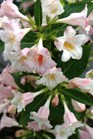 /Images/johnsonnursery/Products/Woodies/Weigela_Sonic_Bloom_Pearl_-_PW.jpg