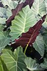 /Images/johnsonnursery/product-images/Alocasia Mayan Mask031516_2t7kh6lqj.jpg
