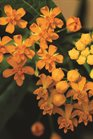 /Images/johnsonnursery/product-images/Asclepias_Silky_Gold_Bloom_2165_5j7vccbt0.jpg