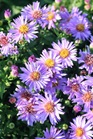 /Images/johnsonnursery/product-images/Aster Woods Purple_uz8co4fxs.jpeg