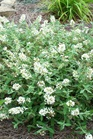 /Images/johnsonnursery/product-images/Buddleia Ice Chip_5oq793kms.jpg