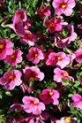 /Images/johnsonnursery/product-images/Calibrachoa Callie Coral Pink2041117_7xnm98s6f.jpg