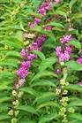 /Images/johnsonnursery/product-images/Callicarpa Issai081400_1plggee7c.jpg