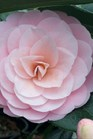 /Images/johnsonnursery/product-images/Camellia Pink Perfection_cdu1dssil.jpg