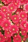 /Images/johnsonnursery/product-images/Chrysanthemum Camina100405_kbbg5bo11.jpg