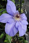 /Images/johnsonnursery/product-images/Clematis Ramona041613_103r9rmfi.jpg