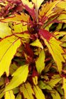 /Images/johnsonnursery/product-images/Coleus FlameThrower Spiced Curry041416_10pnoti5v.jpg