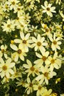 /Images/johnsonnursery/product-images/Coreopsis Moonbeam092111_hvat9xm2n.jpg