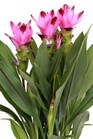 /Images/johnsonnursery/product-images/Curcuma Siam Splash_fx3bhrihx.jpg