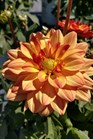 /Images/johnsonnursery/product-images/Dahlia Dalina Grande Tequila043018_rnzvl5kq1.jpg