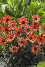 /Images/johnsonnursery/product-images/Dahlia Happy Days Red Flare_36fpc7qka.jpg