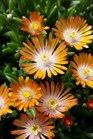 /Images/johnsonnursery/product-images/Delosperma Jewel of the Desert Topaz2040816_p1aj3txtg.jpg
