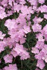 /Images/johnsonnursery/product-images/Dianthus Baths Pink2041701_i8htli75m.jpg