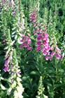 /Images/johnsonnursery/product-images/Digitalis Foxy041801_2dprcn5w4.jpg
