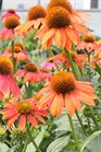 /Images/johnsonnursery/product-images/Echinacea Lakota Santa Fe_jhnfp960l.jpg