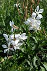 /Images/johnsonnursery/product-images/Gaura Stratosphere White2041217_54762wvt2.jpg