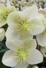 /Images/johnsonnursery/product-images/Helleborus Champion_tgcrbes4e.jpg
