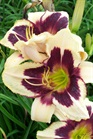 /Images/johnsonnursery/product-images/Hemerocallis Moonlit Masquerade072209_nj0dwq865.jpg