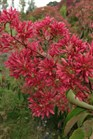/Images/johnsonnursery/product-images/Heptacodium Temple Of Bloom_4nb1887s4.jpg