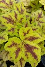 /Images/johnsonnursery/product-images/Heucherella Leapfrog2032516_bqew274i4.jpg