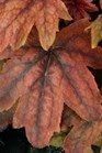 /Images/johnsonnursery/product-images/Heucherella Pumpkin Spice_utvme1hht.jpg