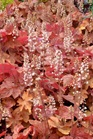 /Images/johnsonnursery/product-images/Heucherella Redstone Falls_acht0emgs.jpg