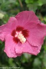 /Images/johnsonnursery/product-images/Hibiscus Lil Kim Red_pitu6d6on.jpg