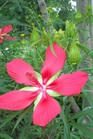 /Images/johnsonnursery/product-images/Hibiscus_coccineus070700_hx4koiw4v.jpg