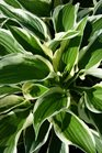 /Images/johnsonnursery/product-images/Hosta Minuteman051517_bbmnxc5bh.jpg