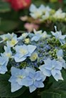 /Images/johnsonnursery/product-images/Hydrangea Tuff Stuff AH AH_totrop3lo.jpg