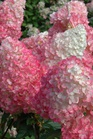 /Images/johnsonnursery/product-images/Hydrangea Vanilla Strawberry_u76zrpiil.jpg