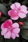 /Images/johnsonnursery/product-images/Impatien Orchid Star050613_j0769rlex.jpg