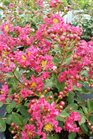/Images/johnsonnursery/product-images/Lagerstroemia Infinitini Magenta071116_nb01m4o4s.jpg