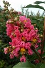 /Images/johnsonnursery/product-images/Lagerstroemia Tuscarora080216_4w1n27szd.jpg