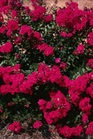 /Images/johnsonnursery/product-images/Lagerstromia CherryDazzle_e13s4bdgt.jpg