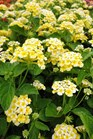 /Images/johnsonnursery/product-images/Lantana Chapel Hill Yellow070913_9p4jspl6i.jpg