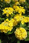 /Images/johnsonnursery/product-images/Lantana Landmark Yellow062513_gmp1jeh21.jpg