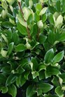 /Images/johnsonnursery/product-images/Ligustrum Davidson Hardy3080216_2a3k84t3i.jpg