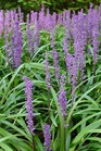 /Images/johnsonnursery/product-images/Liriope Royal Purple_5rpd81g32.jpg