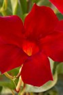 /Images/johnsonnursery/product-images/Mandevilla Sun Parasol Pretty Crimson_jsjuso3fr.jpg